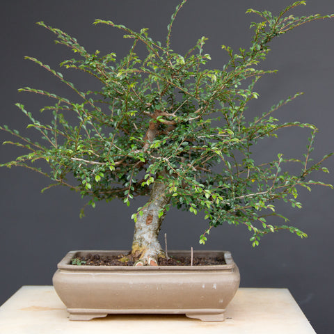 Chinese elm bonsai bush