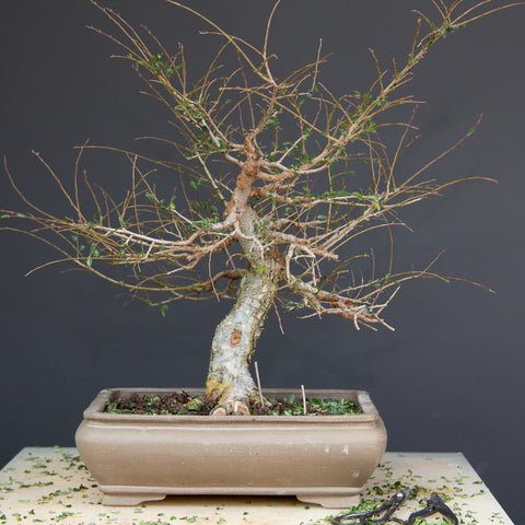 Chinese elm bonsai after defoliation