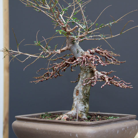 Chinese elm bonsai process of work