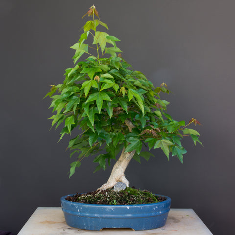 maple bonsai with leaves