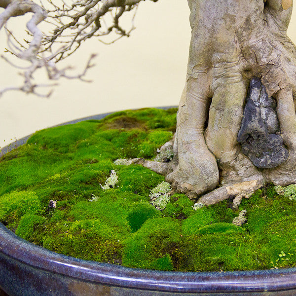Base of the Chinese Maple bonsai