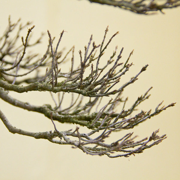 Chinese maple branch structure