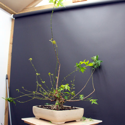 Chinese maple bonsai tree after defoliation