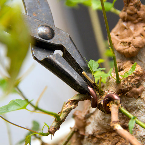 Chinese maple bonsai tree pliers