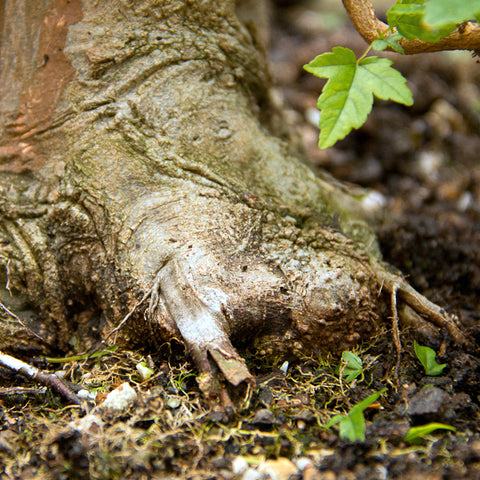 Chinese maple bonsai tree root flare