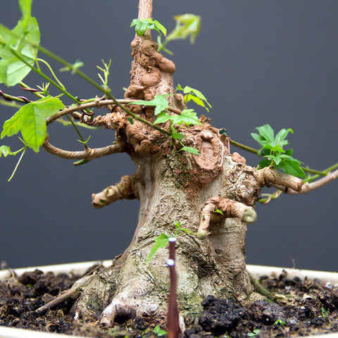 Chinese maple bonsai tree completed