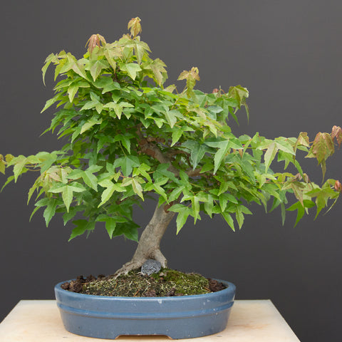 Chinese maple before defoliating