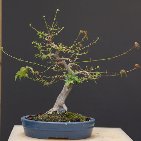 Chinese maple after defoliating