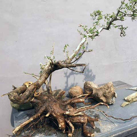 Collecting premna bonsai trees