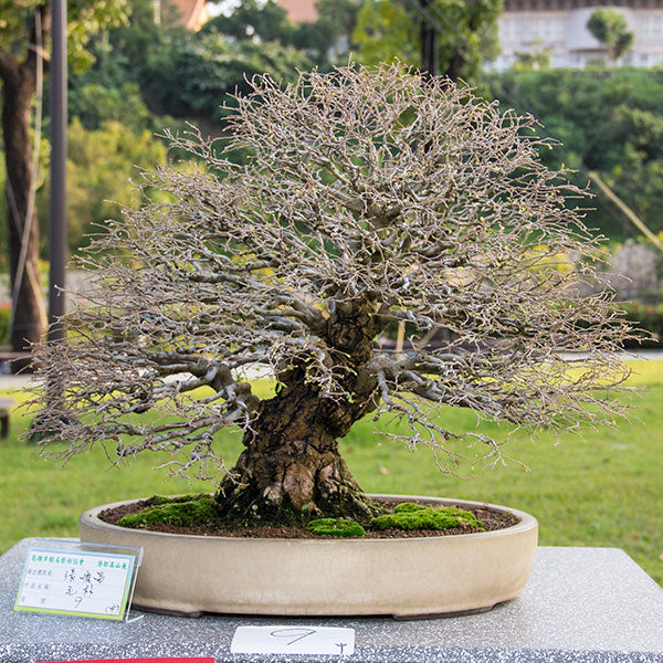 Celtis bonsai tree Taiwan
