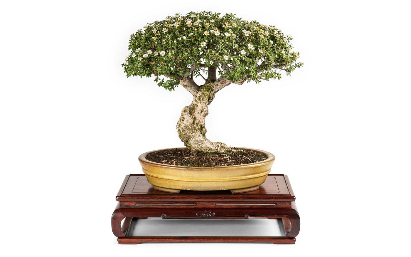 Bonsai Tree Wiring Your Specimen Trees