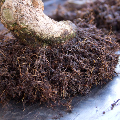 Cotoneaster bonsai root development