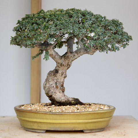 Final image of cotoneaster bonsai