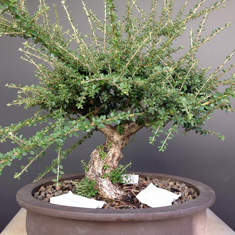 Bonsai Boost cotoneaster bonsai trees