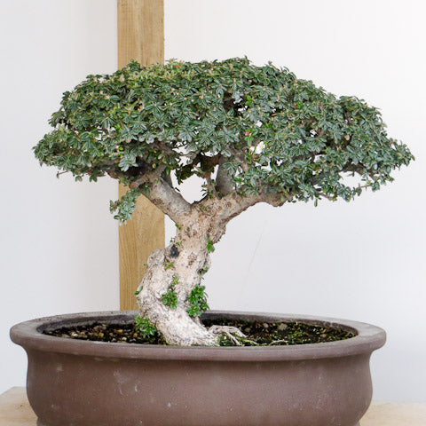current day rock spray bonsai tree