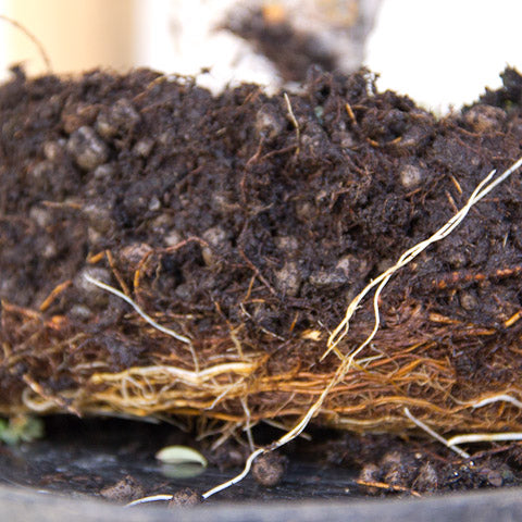 healthy root development