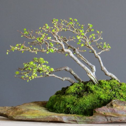Learn How To Take Cuttings In These 10 Easy To Follow Steps Bonsai Tree Pty Ltd