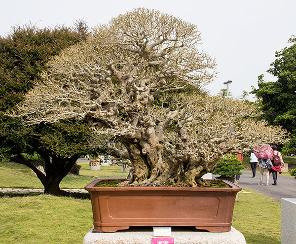 ficus bonsai tree taiwan