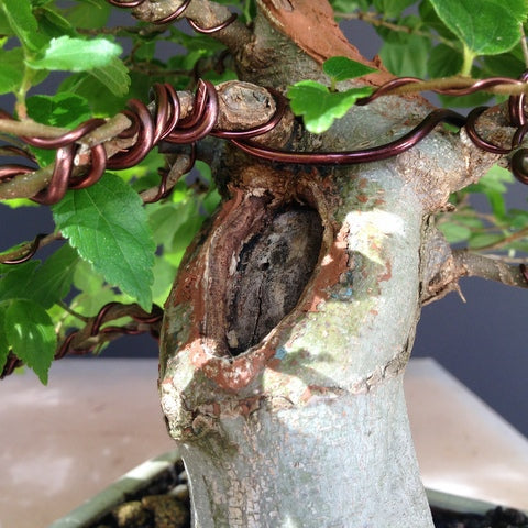 Hackberry with stubborn scar