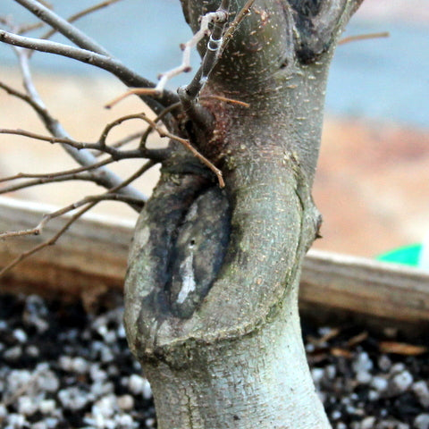 Unsealed scar on a Hackberry