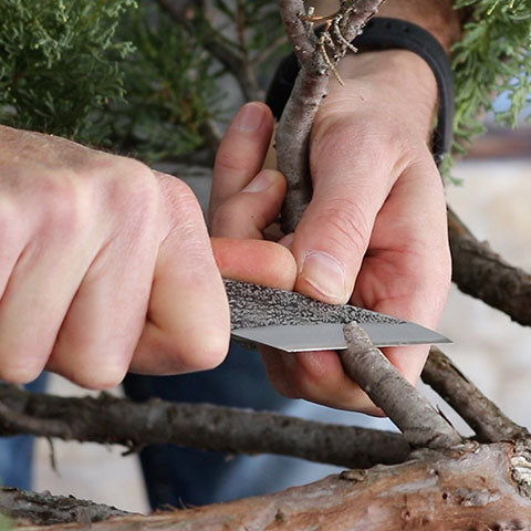 Mark polson juniper grafting