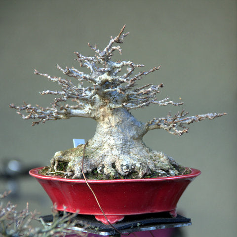 Chinese maple bonsai tree layered