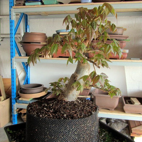 Chinese maple bonsai tree layering