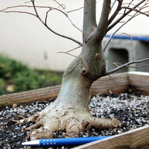 hackberry bonsai shohin