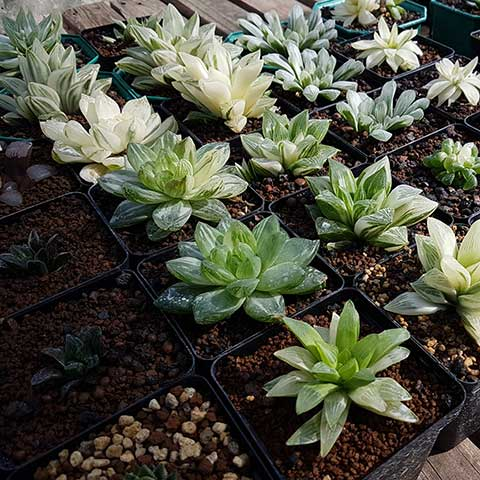 Haworthia selection
