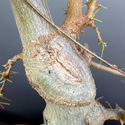 Healed wound on a chinese maple bonsai tree