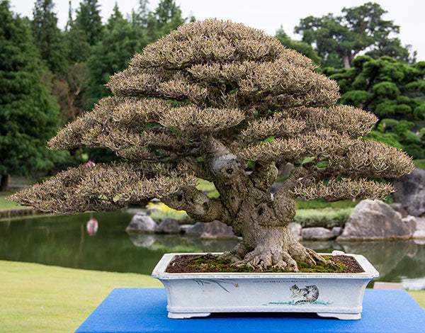Hibiscus bonsai tree Taiwan