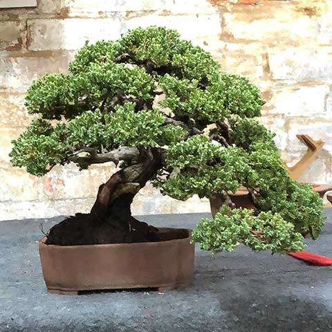 The Fantastic Juniperus Procumbens Nana Bonsai Tree Pty Ltd