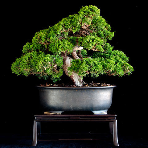 imported itoigawa juniper bonsai