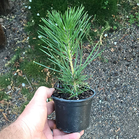 Japanese Black Pine From Seed Year 1 Bonsai Tree Pty Ltd