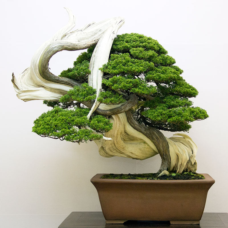Japanese bonsai juniper tree