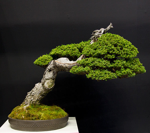 Spruce bonsai tree