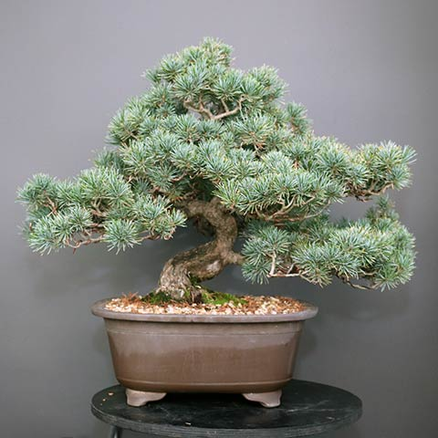 Japanese white pine bonsai before styling