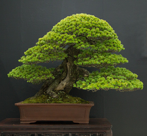 white pine japanese bonsai trees