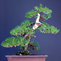 Japanese black pine makeover