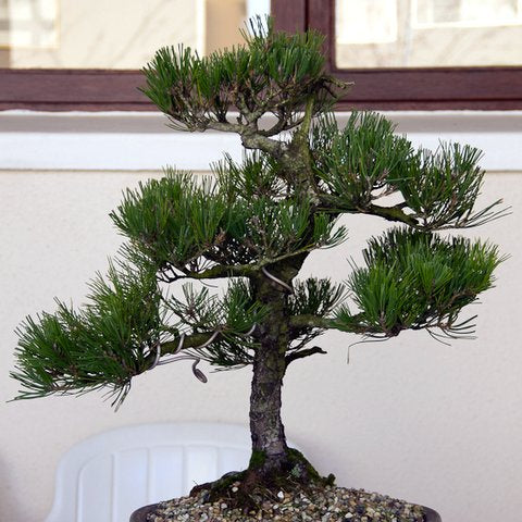 Japanese black pine restyling