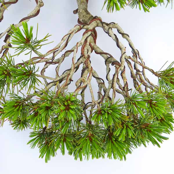 Gentle wiring of a Japanese white pine