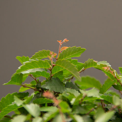 new shoots on a japanese zelkova bonsai tree