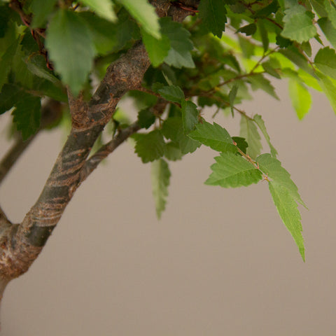 shoots on a zelkova bonsai