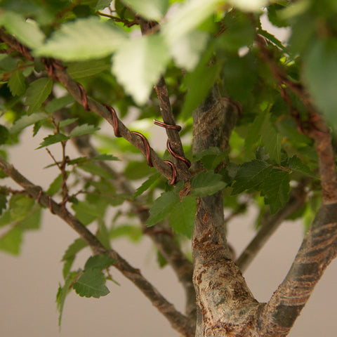branchlets at forks