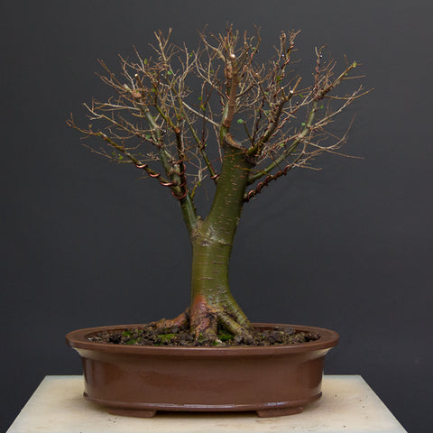 More commonly style broom bonsai