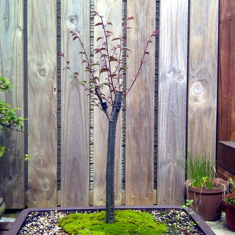 Japanese zelkova broom style bonsai