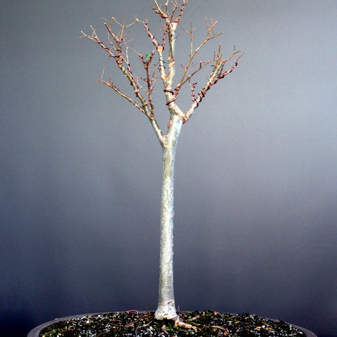 Zelkova bonsai tree