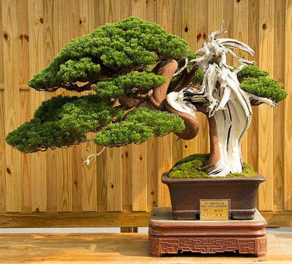 juniper bonsai tree taiwan