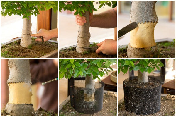 layering on bonsai trees