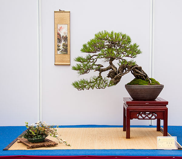 pine tree bonsai taiwan